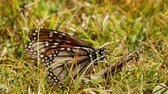 явление : Monarch butterfly drinking gives a wing of a dead butterfly on grass