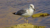 gaivota : seagull sits on a stone by the sea, close up
