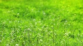 Small Spring White Flowers and Green Grass Flicker in the Wind Stock Footage