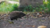 jeż : little hedgehog on the yard looking for food. Wideo
