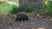 dziecko jedzenie : little hedgehog on the yard looking for food. Wideo