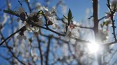 floral : Apricot  branch blossom flower spring sunlight glare nature landscape video Stock Footage