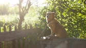 doghouse : dog sitting on a chain in a box behind the sunlight green background slow motion video Stock Footage