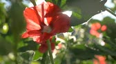 bloom : red flower on a green background dawn morning nature slow motion video