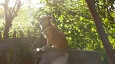 doghouse : dog sitting on a chain in a box behind sunlight green background slow motion video