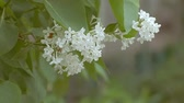 bloom : of white lilac branch slow motion video
