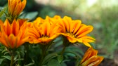 bloom : yellow orange the flower beautiful nature video background Stock Footage