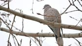 turtledove : Mourning Dove turtledove bird Zenaida macroura on a tree branch bird