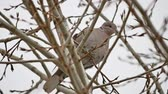 turtledove : Mourning Dove turtledove bird Zenaida macroura on a tree branch