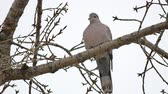 turtledove : Mourning Dove turtledove bird Zenaida macroura on tree branch bird