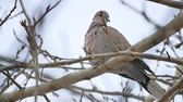 turtledove : Mourning Dove turtledove bird bird Zenaida macroura on a tree branch