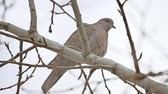 turtledove : Mourningbird Dove turtledove bird Zenaida macroura on a tree branch