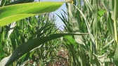 Corn field corn farming farm steadicam. green grass agriculture united states the nature video usa motion corn farm Стоковые видеозаписи