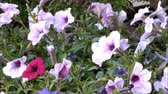 horta : Close up of beautiful purple Petunia Summer flowers Stock Footage