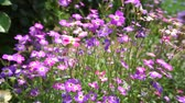 horta : Blooming Purple flowers bouquet moving in the wind
