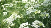 horta : Blooming White flowers bouquet moving in the wind