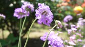 horta : Bee pollinating and Blooming Purple flowers bouquet moving in the wind