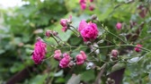 порошкообразный : Rose plant leaves and flower buds damaged by fungal disease powdery mildew close-up