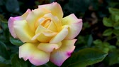 estame : Blossoming rose flower at sunrise. Flowers in the early summer with a light breeze.