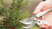 buda : The gardeners hand cuts the unnecessary twig of the yew with a secateur, close up