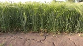 field : The earth was cracked by drought On the field with wheat