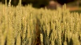 vegeterian : Spikelets of wheat on the field, light breeze. Stock Footage