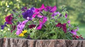 Клумба : multi-colored petunia on a tree stump