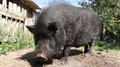 boar : Black Vietnamese pigs, resting, sleeping in the pen, on a sunny day, big, thick black pigs, family Stock Footage