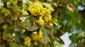 oregon : Mahonia aquifolium - Oregon grape flower Stock Footage
