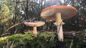 поганка : Pale grebe and red amanita, growing in the forest on green moss. On a rainy day
