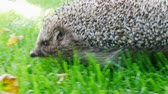 convidado : Hedgehog in Green Grass Goes or Crawls. Happy Cute Hand Pet Hedgehog on Sunny Day