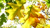 clorofila : Beautiful sun shine through blowing on wind tree green yellow red leaves. Sun shining through fall leaves blowing in breeze. Nature background. Colorful golden autumn leaves