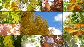 clorofila : Montage Composition Collage On Beautiful sun shine through blowing on wind tree green yellow red leaves. Video Wall With Footage Colorful golden autumn leaves blowing in breeze. Nature background Vídeos