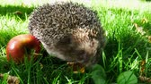europaeus : Hedgehog With Juicy Red Ripe Apple Goes or Crawls in Green Grass. Happy Cute Hand Pet Hedgehog on Sunny Day