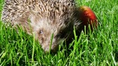 europaeus : Hedgehog in Green Grass With Juicy Red Ripe Apple Goes or Crawls. Happy Cute Hand Pet Hedgehog on Sunny Day in Autumn Stock Footage