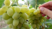 vinařství : Farmers Hand Grabs Bunch of White Grapes. Picking white grapes on vineyard during vine harvest