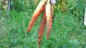 turp : Farmer hands holding harvested ripe carrots. Concept of autumn harvest in vegetable garden in nature Stok Video