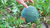 melancia : Organic watermelon growing on the eco farm