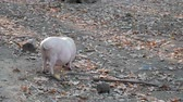 snout : Pig on pasture in forest are eating