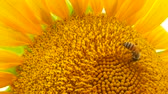 A bee collects honey on a sunflower on a sunny summer day against a background of green leaves Стоковые видеозаписи