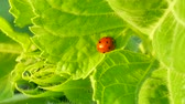 Ladybug at green leaf in field