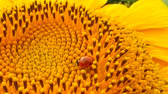 Red ladybug with pollen on yellow sunflower on sun Стоковые видеозаписи