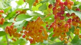 bola de neve : Bunches of red viburnum opulus berries on a branch with its leaves outdoor