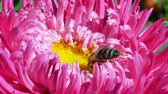 opylení : Honeybee on pink michaelmas daisy or aster. European or western honey bee sitting on pink flower