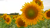 Agriculture field with sunflowers at summer Wideo