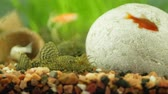 pesce siluro : Aquarium catfish ancistrus licks the stones