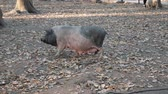Pig on pasture in forest Wideo