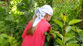 Cute little girl picking fresh berries from the bush on organic raspberry farm at sunny summer day. Child harvesting in garden