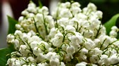 Лилли : White Lily of the valley bouquet with green leaves. May lily flowers Стоковые видеозаписи
