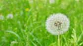 Closeup of dandelion on natural background. White fluffy dandelions, natural green spring background Стоковые видеозаписи